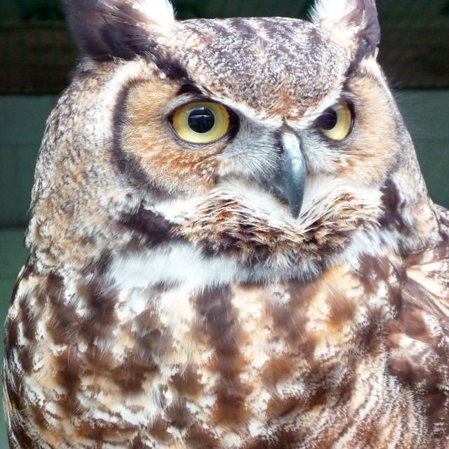 """Long ear owl,"" stock image"