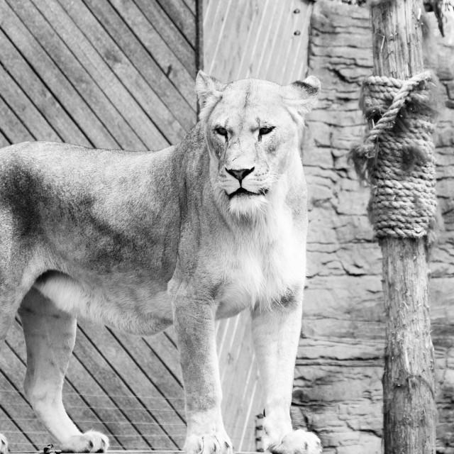 """""""lion king"""" stock image"""