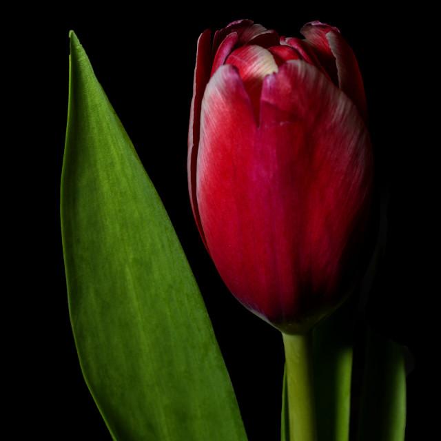 """Red tulip"" stock image"