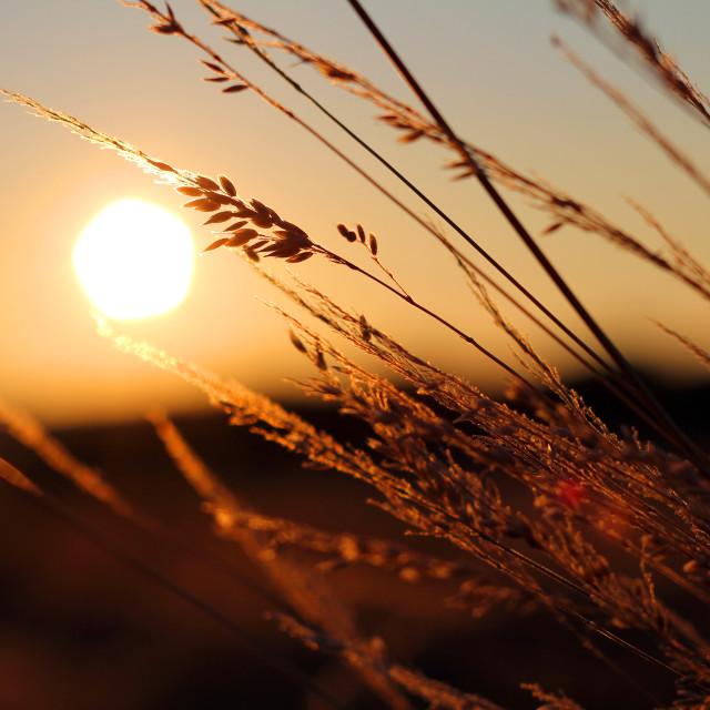 """Sunset harvest"" stock image"