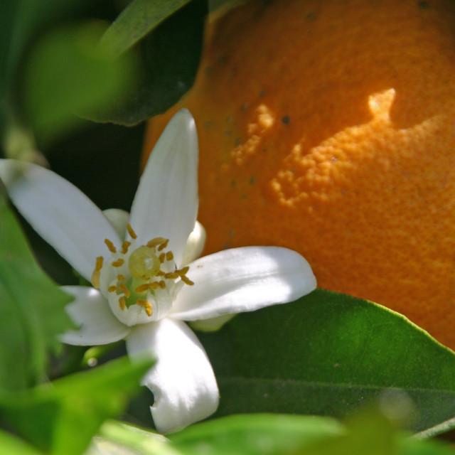 """orange and blossom"" stock image"