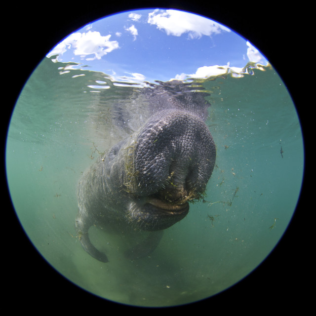 """Manatee, Crystal River"" stock image"
