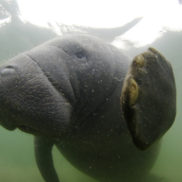"""Manatee Shaking Hands, Crystal River"" stock image"