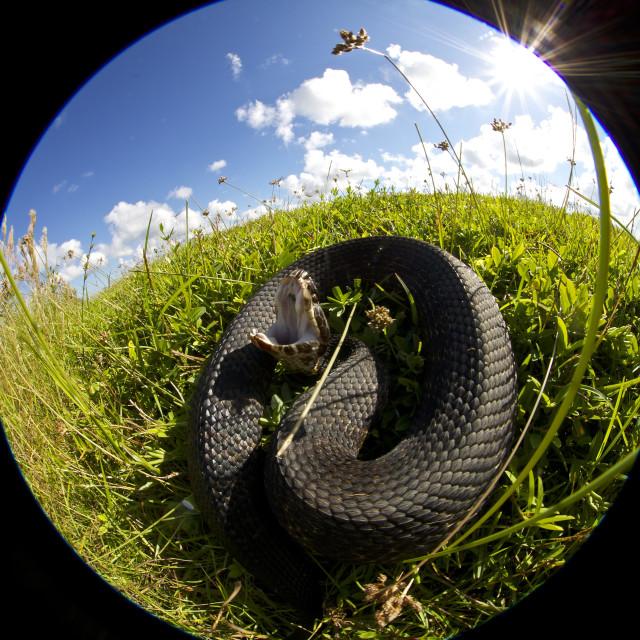 """Cottonmouth Snake, Florida"" stock image"