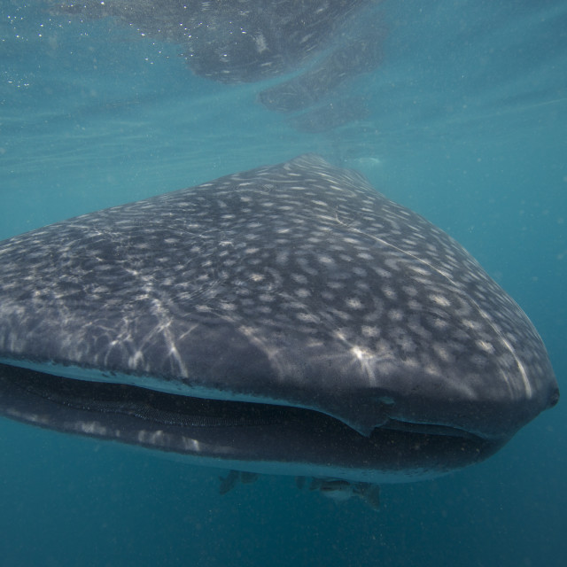 """Whale Shark Head On"" stock image"