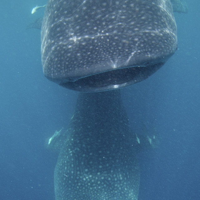 """Whale Sharks Above and Below"" stock image"