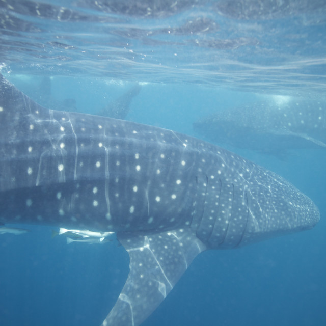 """Three Whale Sharks"" stock image"