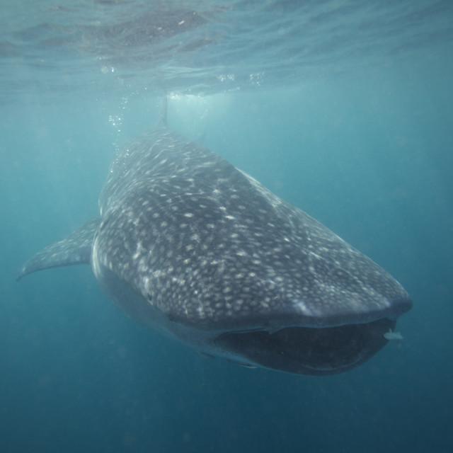 """Whale Shark Arabian Gulf"" stock image"