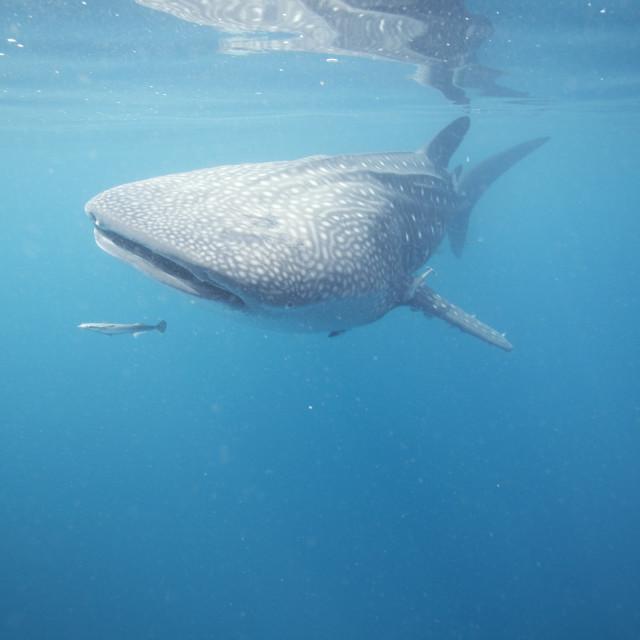"""Juvenile Whale Shark"" stock image"