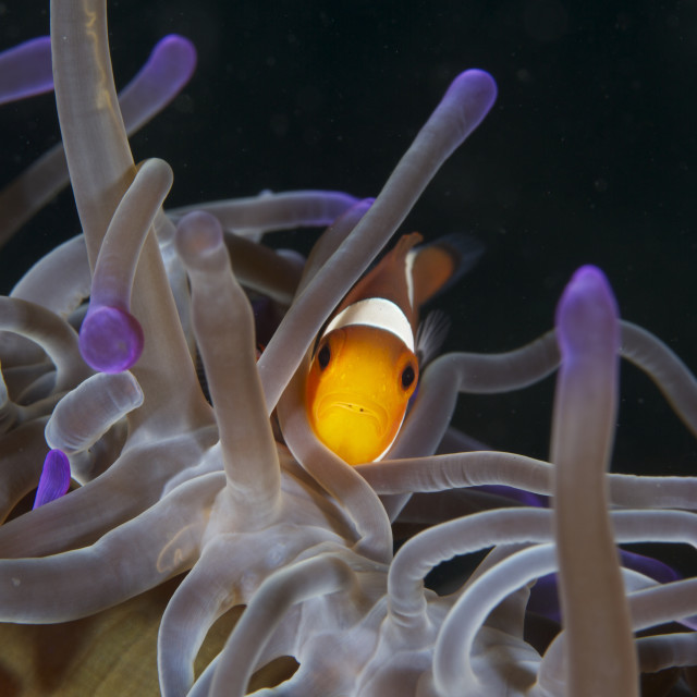 """Clownfish with Tongue Louse, Lembeh Straits"" stock image"