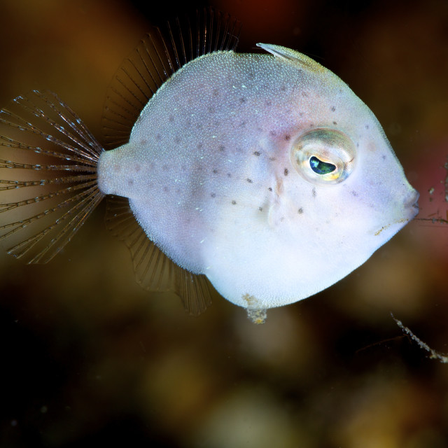 """Juvenile File Fish, Lembeh Straits"" stock image"