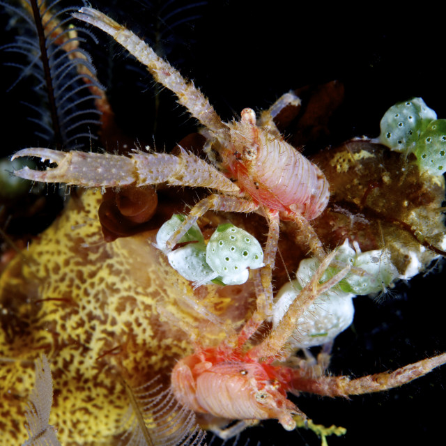 """Squat Lobsters, Lembeh Straits"" stock image"