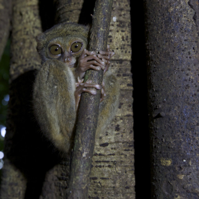 """Tarsier in Tree"" stock image"