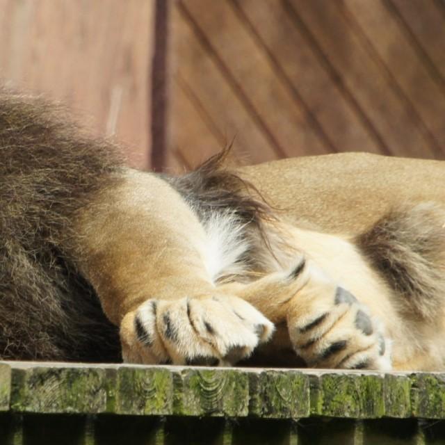 """""""lion rest"""" stock image"""
