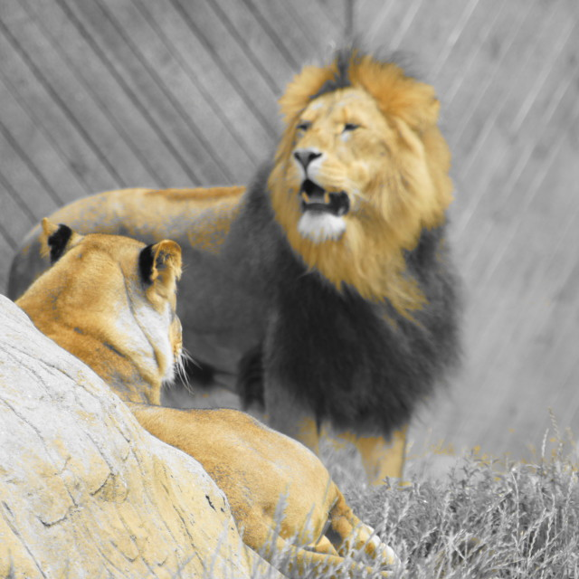 """not happy lion"" stock image"