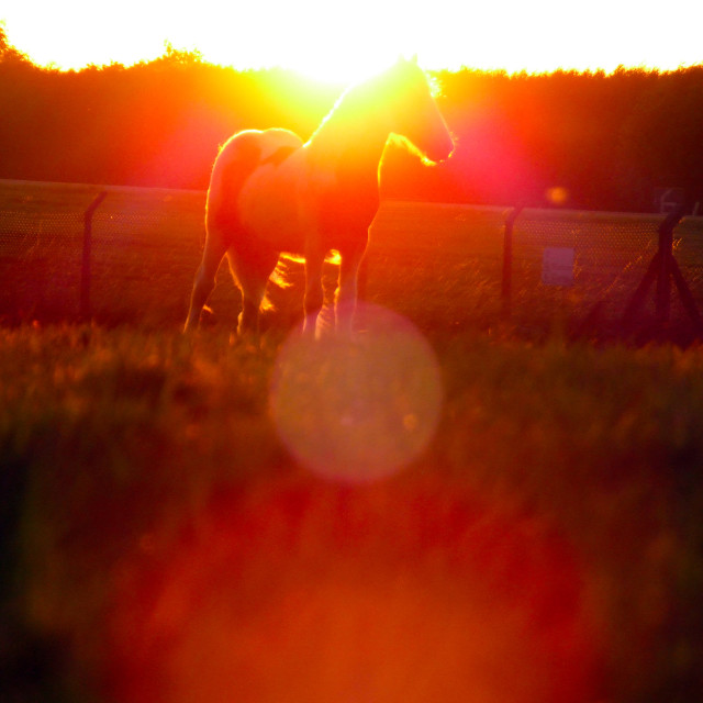 """Horse in sunlight glow"" stock image"