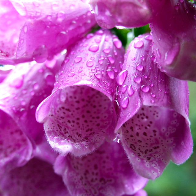 """""""Pink Fox Gloves"""" stock image"""