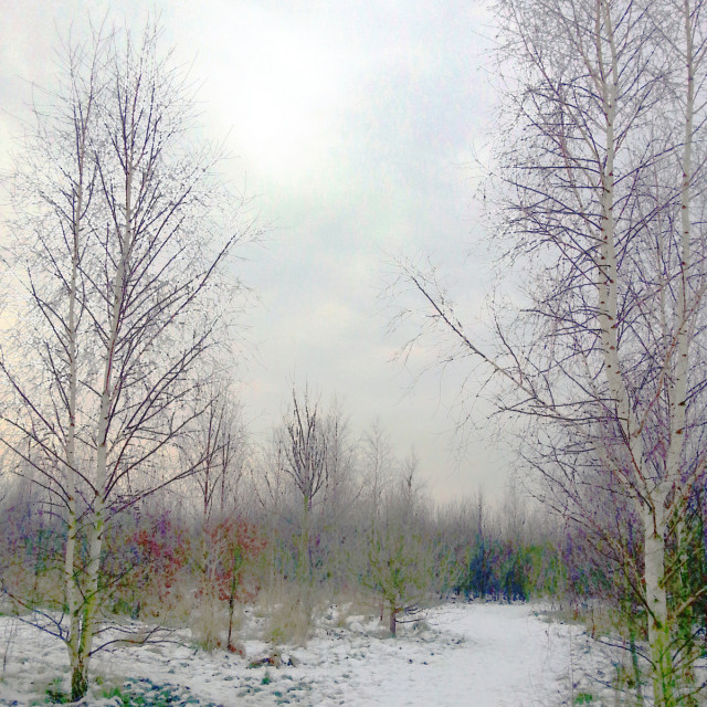 """Silver Birches & Snow"" stock image"