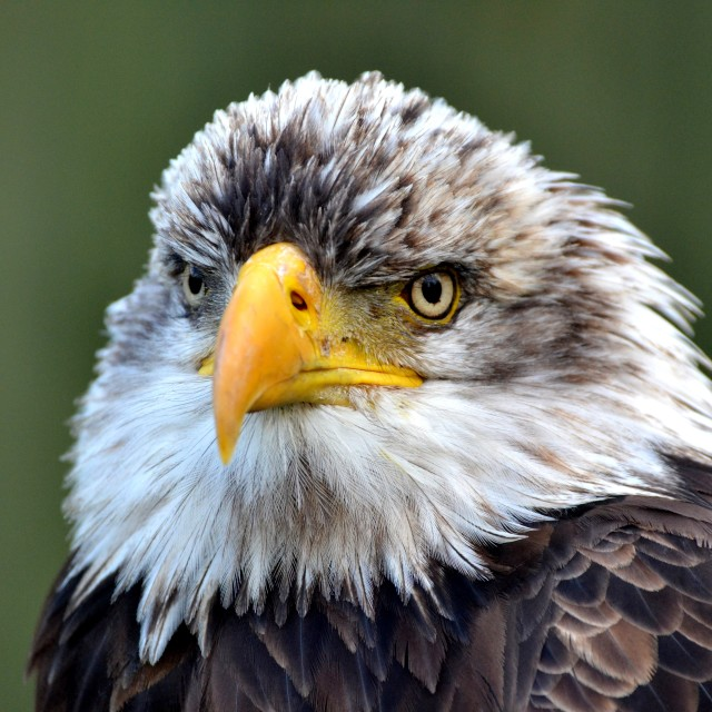 """The Eagle's Stare"" stock image"