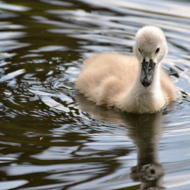 """The Ugly Duckling"" stock image"