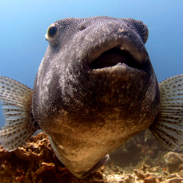 """Inquisitive puffer..."" stock image"