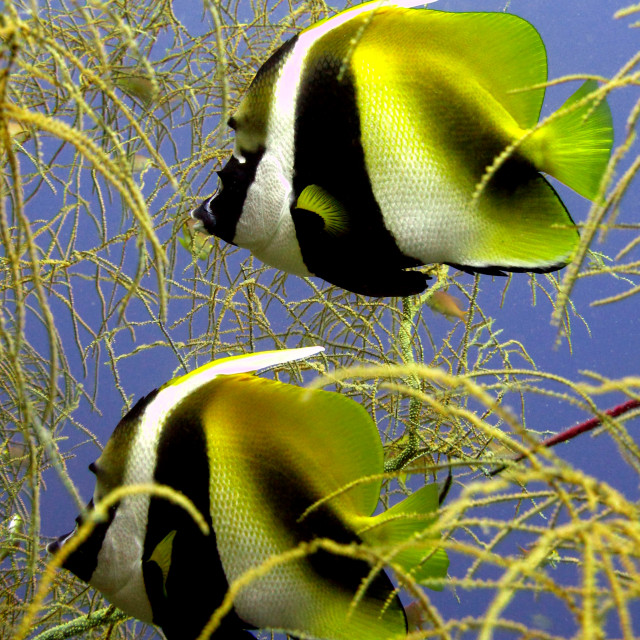 """Twin Bannerfish"" stock image"