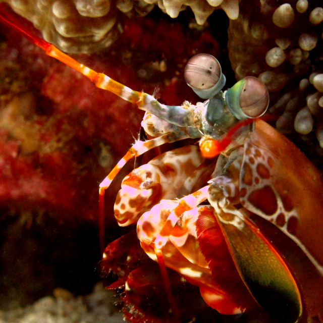 """Peacock Mantis Shrimp"" stock image"