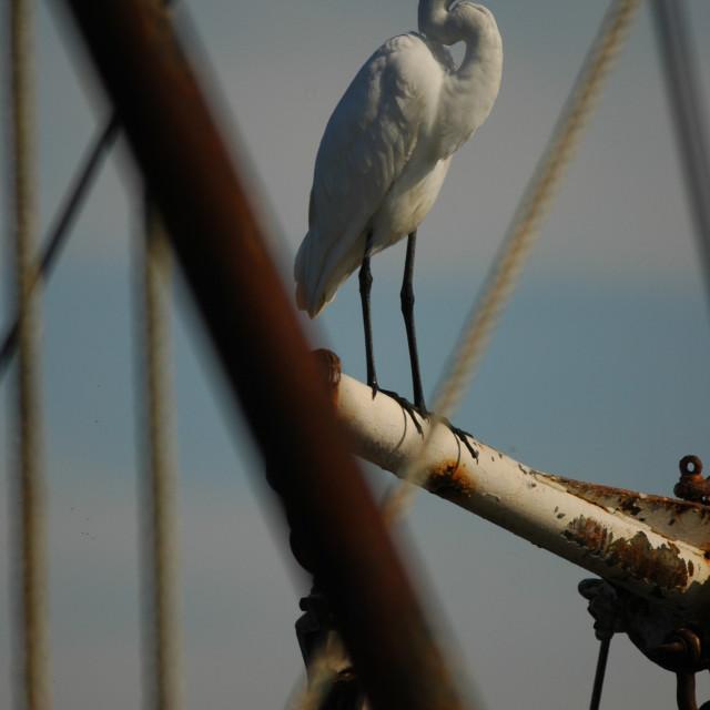"""""""Apalachicola Egret"""" stock image"""