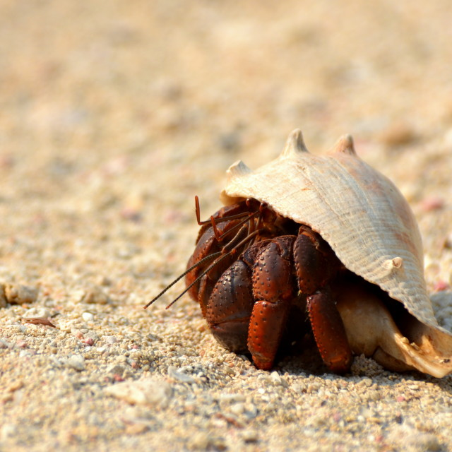 """A hermit crab peers out of its shell..."" stock image"