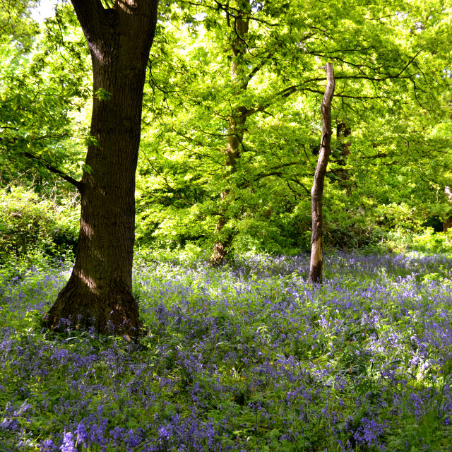 """Bluebell Season"" stock image"