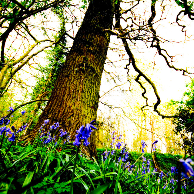 """""""Bluebell boost"""" stock image"""