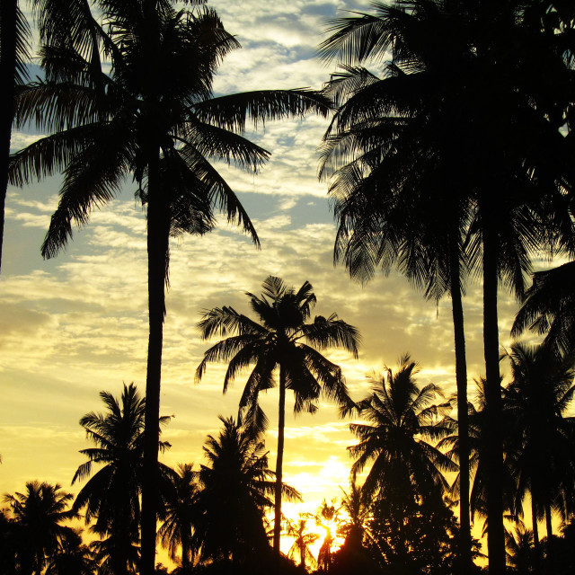 """Palms Silhouetted at Sunset"" stock image"
