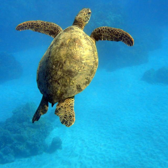 """Hawaiian Sea Turtle"" stock image"