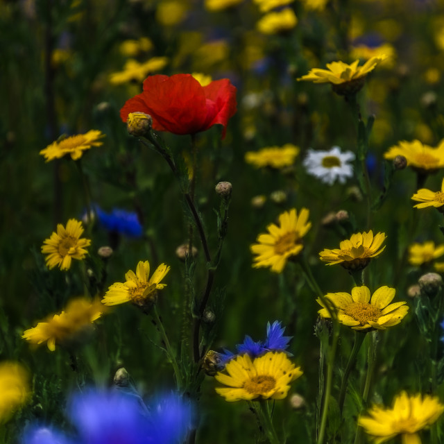 """Summer Wild Flowers"" stock image"
