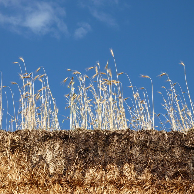 """Living Straw"" stock image"