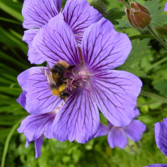 """Bumble Bee on Geranium"" stock image"