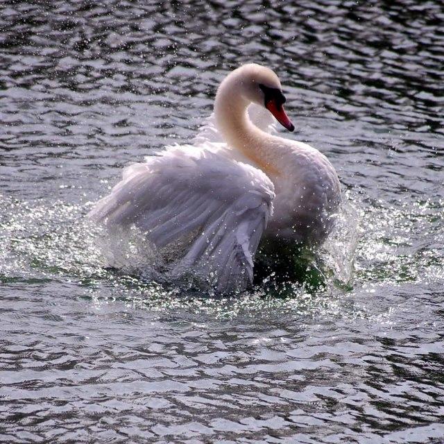 """""""Swan landing"""" stock image"""