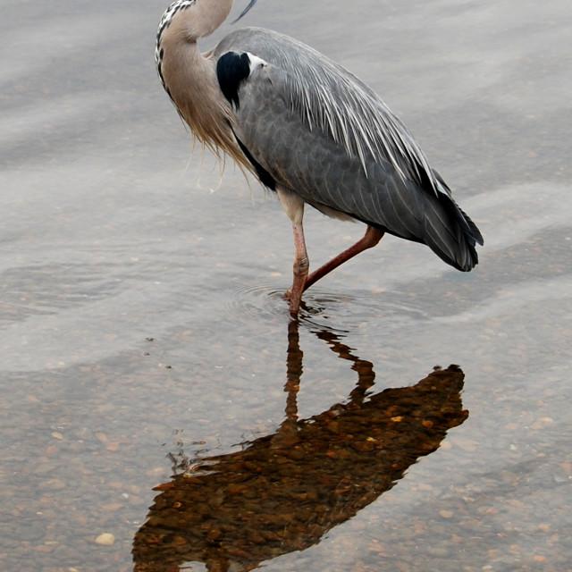 """""""Richmond Heron"""" stock image"""