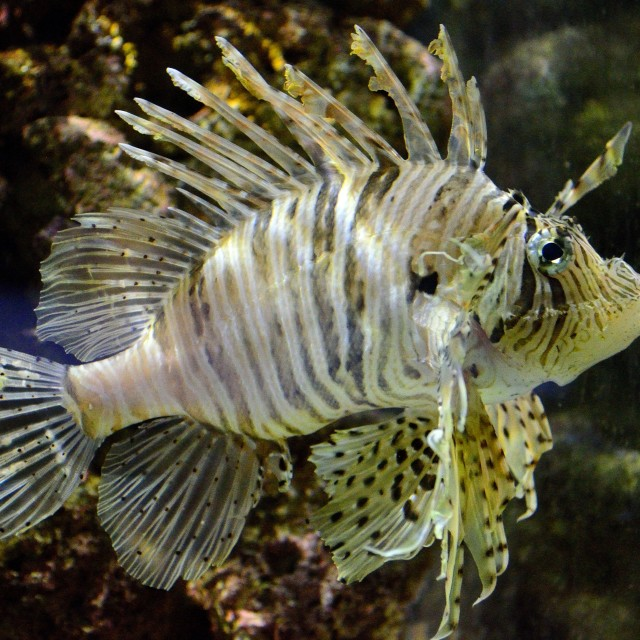 """Lionfish"" stock image"