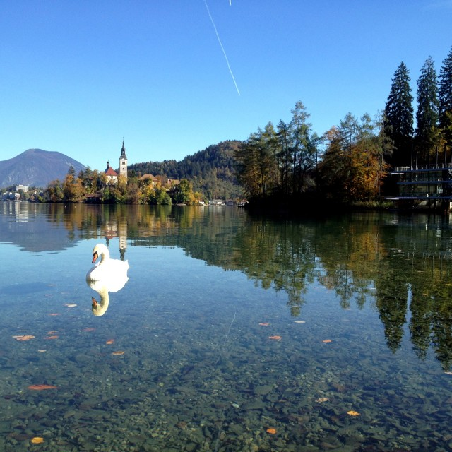 """""""Swan at Lake Bled"""" stock image"""