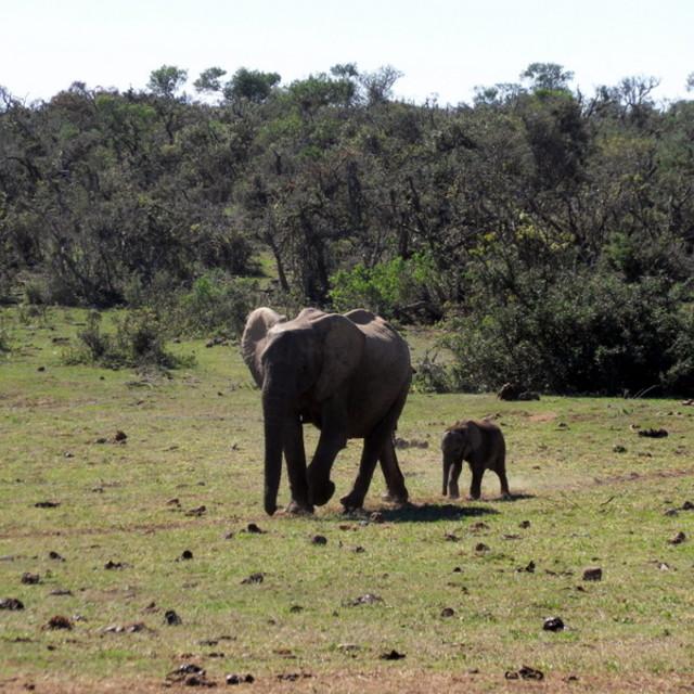 """""""Elephant wander"""" stock image"""