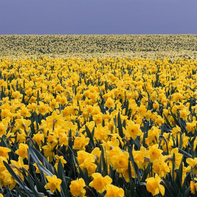 """Springtime Gold"" stock image"