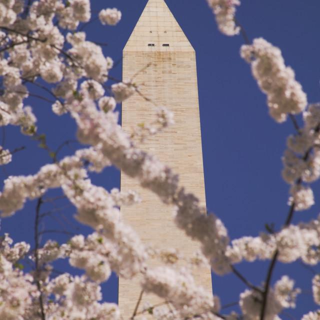 """Cherry Blossom Festival"" stock image"