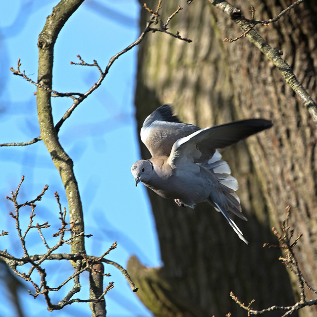 """Wood pigeon in oak tree."" stock image"