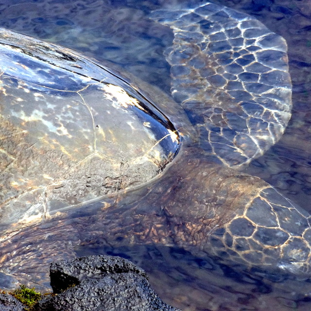 """Turtle on Punalu'u Beach"" stock image"