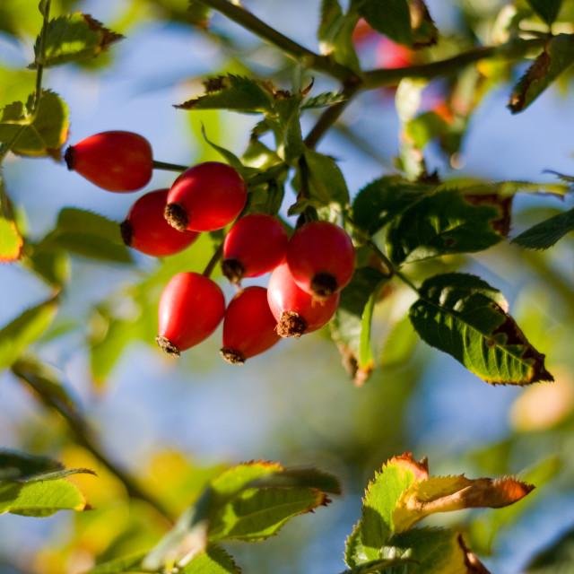 """""""Summer Berries"""" stock image"""