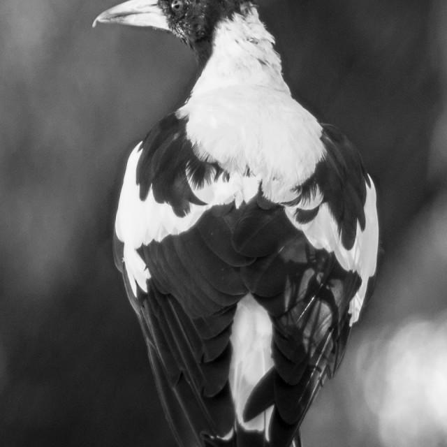"""Leederville Magpie"" stock image"