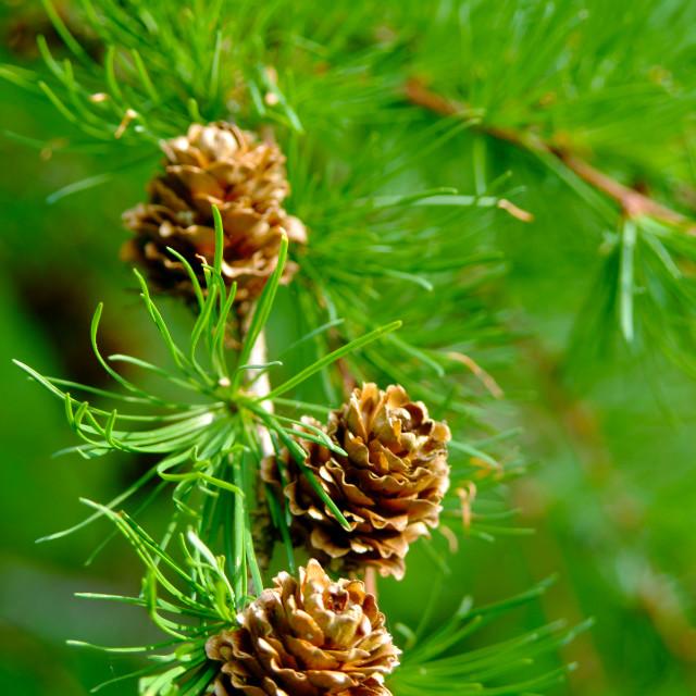 """""""Pine Cones"""" stock image"""