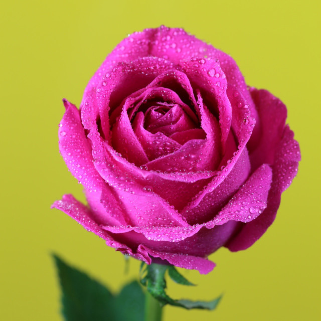 """Rose to Love"" stock image"