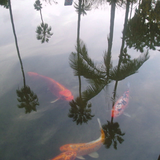 """Koi With Reflected Palms"" stock image"